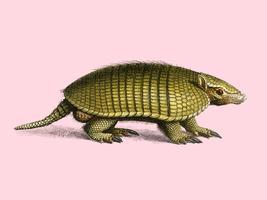 Gula armadillo (Euphractus sexcinctus) illustrerad av Charles Dessalines D 'Orbigny (1806-1876). Digitalförstärkt från vår egen 1892-upplaga av Dictionnaire Universel D'histoire Naturelle.