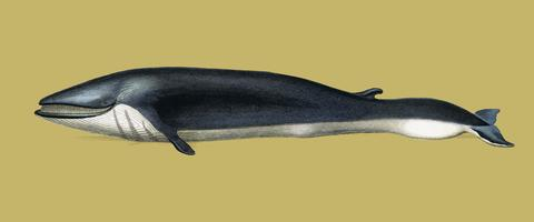 Balaenoptera rorqual illustrated by Charles Dessalines D' Orbigny (1806-1876). Digitally enhanced from our own 1892 edition of Dictionnaire Universel D'histoire Naturelle.