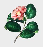 Camellia japonica (Camélia du Japon) illustrated by Charles Dessalines D' Orbigny (1806-1876). Digitally enhanced from our own 1892 edition of Dictionnaire Universel D'histoire Naturelle.