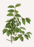 Spindle tree branch