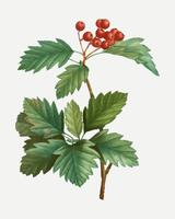 Wild service tree plant