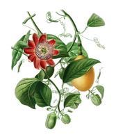 Passiflore ailee illustrerad av Charles Dessalines D 'Orbigny (1806-1876). Digitalförstärkt från vår egen 1892-upplaga av Dictionnaire Universel D'histoire Naturelle.
