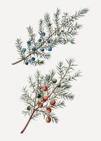 Juniper comum e espinhoso