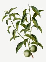 Peach tree branch