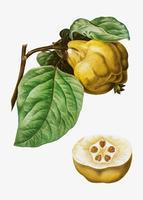 kweepeer fruit