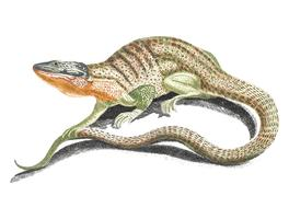 Vintage illustration of a lizard