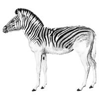 Vintage Illustrationen von Zebra