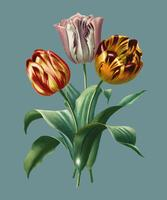 Didier's tulip (Tulipa gesneriana) illustrated by Charles Dessalines D' Orbigny (1806-1876). Digitally enhanced from our own 1892 edition of Dictionnaire Universel D'histoire Naturelle.