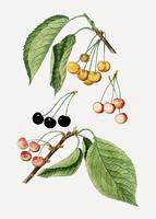 Cherry tree branch vector