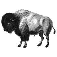 Vintage illustrationer av Bison