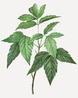 Box elder plant
