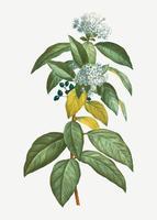 Laurustinus in bloom