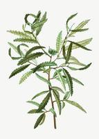 Comptonia ceterach filial