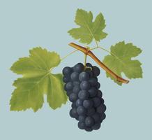 San Colombano grapes from Pomona Italiana illustration