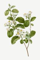 Arbusto de campanilla de invierno