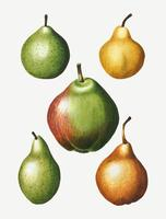 Vintage pear fruit drawing