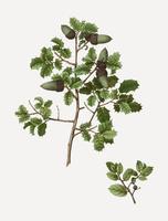 Kermes oak tree branch
