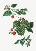 Branche de framboise