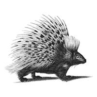 Vintage illustrations of Porcupine