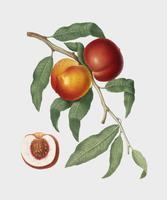 Ilustración de melocotón de nuez de pomona italiana