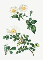 Rosa blanca de york