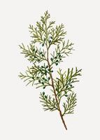 Virginian juniper bush
