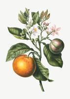 Orange tree branch