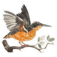 Vintage illustration of a Kingfisher