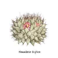 Hand drawn mammillaria erythra pincushion cactus