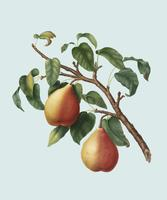 Wild European Pear from Pomona Italiana illustration