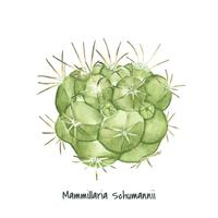 Hand drawn mammillaria schumannii pincushion cactus