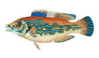 Vintage fisk illustration