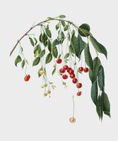 Visciola Cerezas de la ilustración de Pomona Italiana