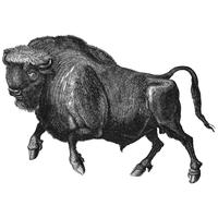 Vintage illustration av Buffalo