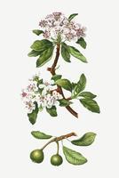 Amandelbladige perenboom