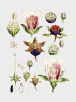 Tabaco indio (Lobelia inflata) de Ilustraciones de plantas del Himalaya (1855) por WH (Walter Hood) Fitch (1817-1892). Mejorado digitalmente por rawpixel.