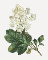 Oaklead hydrangea flower