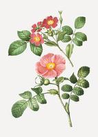 Redleaf steg och japansk ros