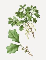 Bear ramo di quercia