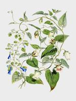 Indian tobacco (Lobelia inflata) from Illustrations of Himalayan plants (1855) by W. H. (Walter Hood) Fitch (1817-1892). Digitally enhanced by rawpixel. vector