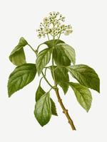 Hortensia floreciente de la escalada