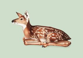 American Deer illustration