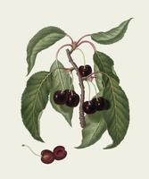Hard-fleshed Cherry from Pomona Italiana illustration