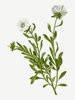 Silverbush flowers