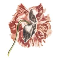 Vintage illustration of a peony