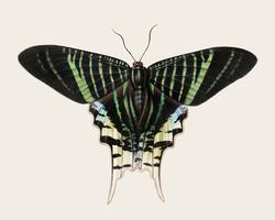 Illustrazione d'epoca di farfalla