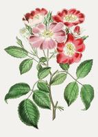Rosa clare