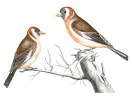 Vintage illustration of a Goldfinches