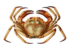 Atlantic deep sea red crab