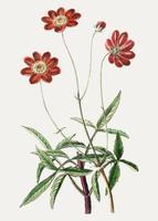 Flor roja cosmos